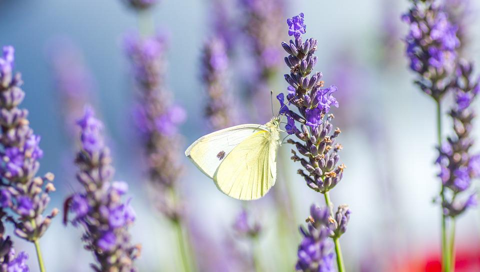 Butterfly, Lavender, Summer, Violet, Insects, Nature