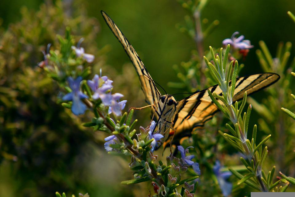 Nature, Flowers, Butterfly, Swallowtail Butterfly