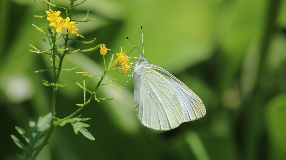 Butterfly, The Cabbage White Butterfly, The White One