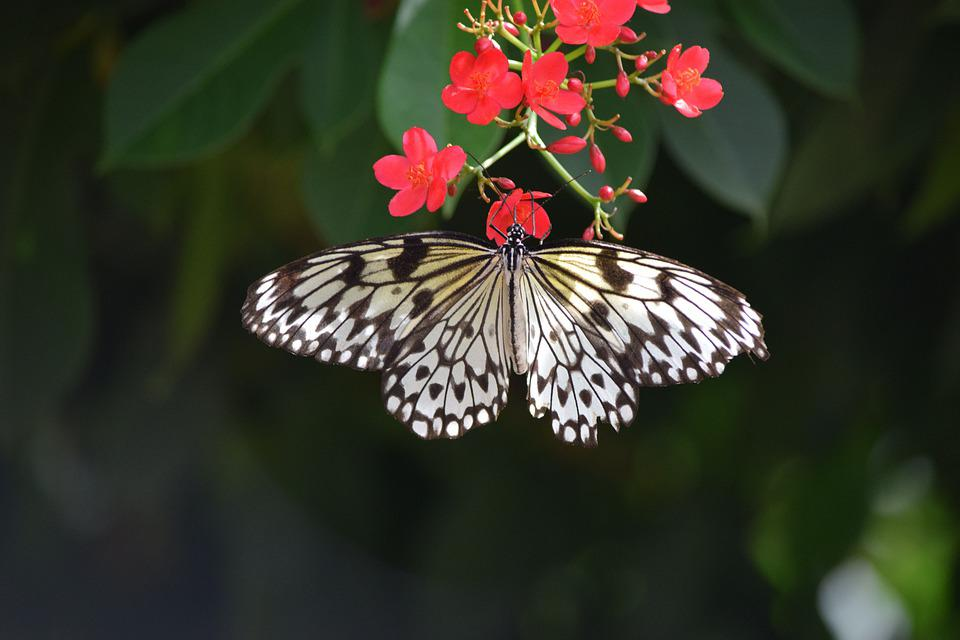 Butterfly, White, Nature