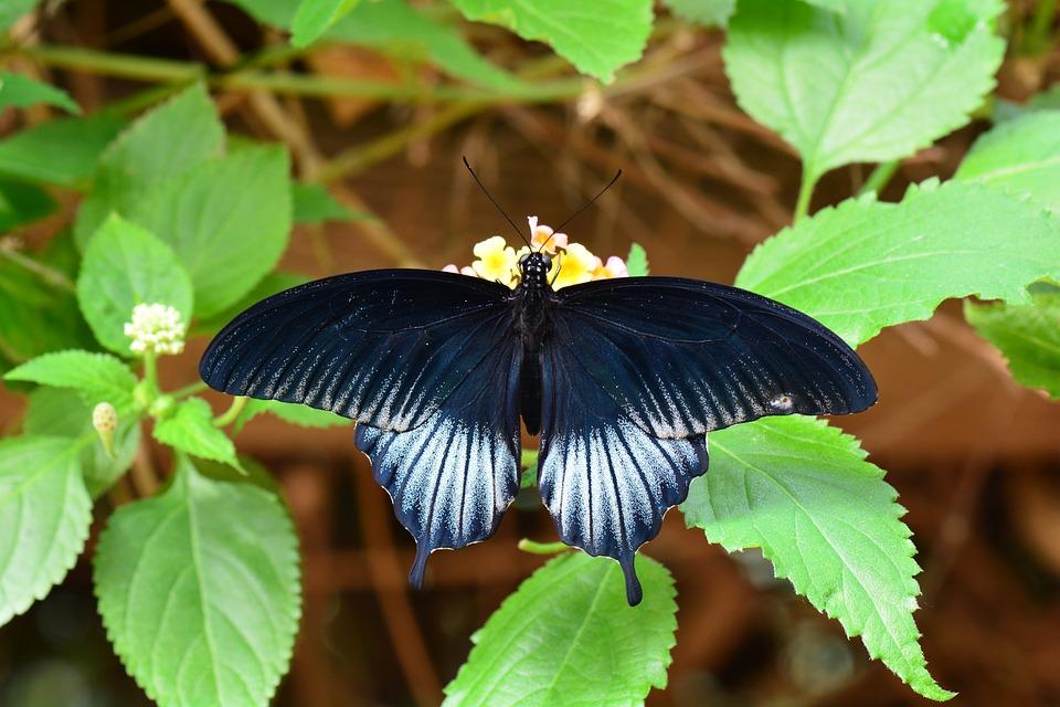 Scarlet Mormon, Butterfly, Wildlife, Wings, Garden