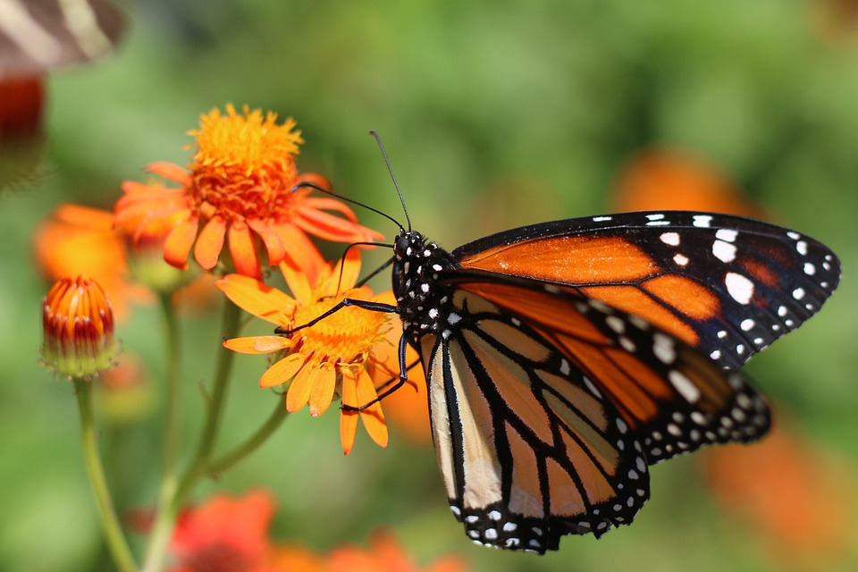 Butterfly, Insect, Wing