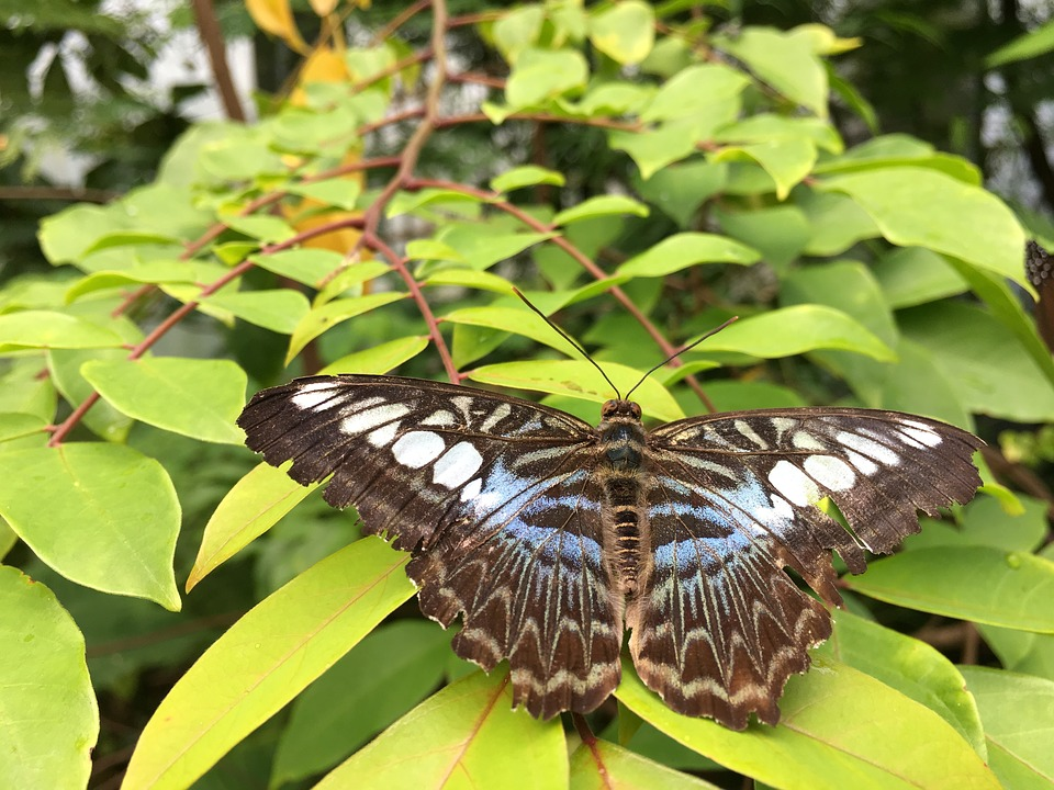 Butterfly, Nature, Insect, Outdoors, Wing