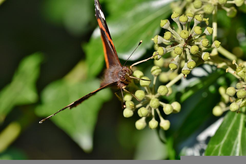 Butterfly, Admiral, Butterfly Wings, Entomology