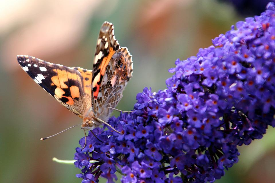 Butterfly, Buddléia, Wings, Forage, Flowers, Insects
