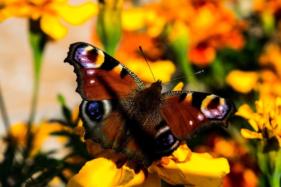 Butterfly, Flowers, Wings, Butterfly Wings, Nature