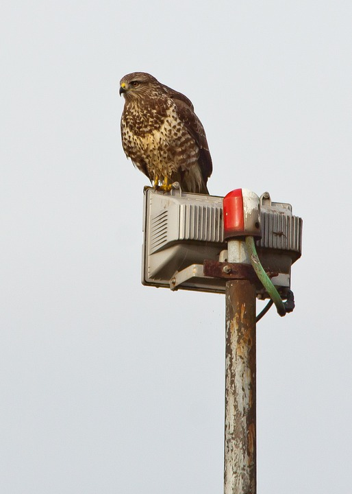 Buzzard, Raptor, Nature And Technology, Bird