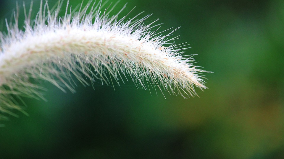 Flowering Grass, Nature, A Blade Of Grass, By Nature