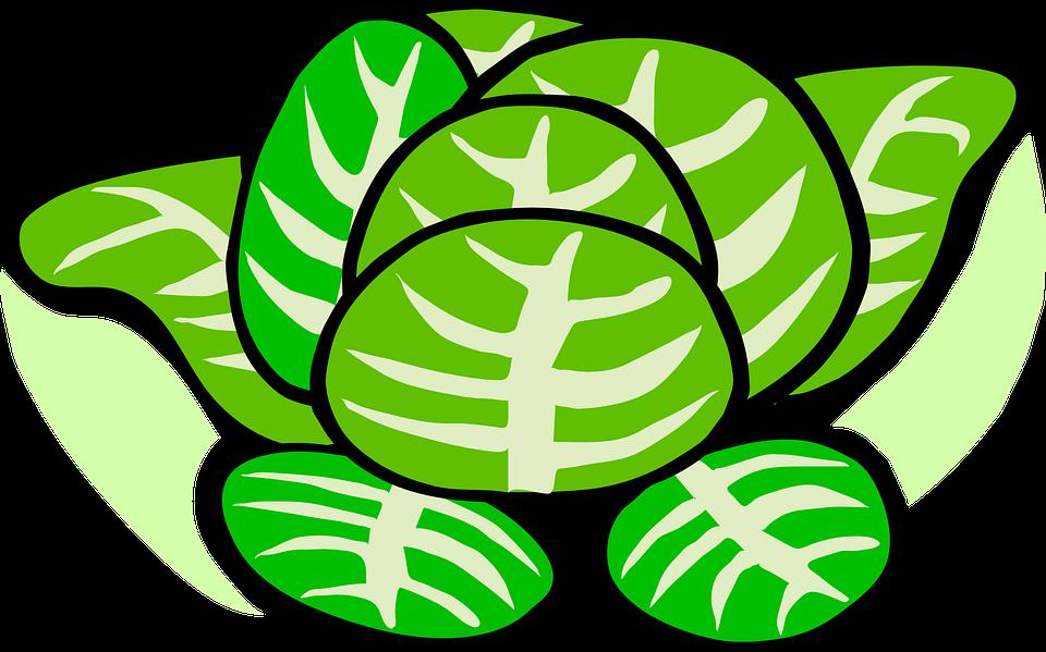 Cabbage, Lettuce, Plant, Vegetables