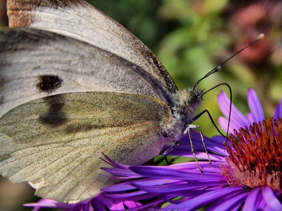 Butterfly, Cabbage White, Wings, Flower