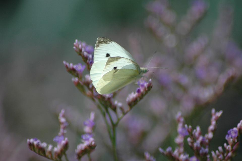 Butterfly, Nature, Cabbage White, Flowers