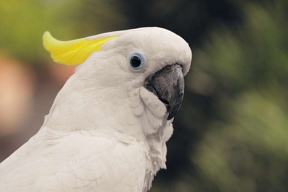 Yellow-crested Cockatoo, Cockatoo, Bird, Cacatuidae