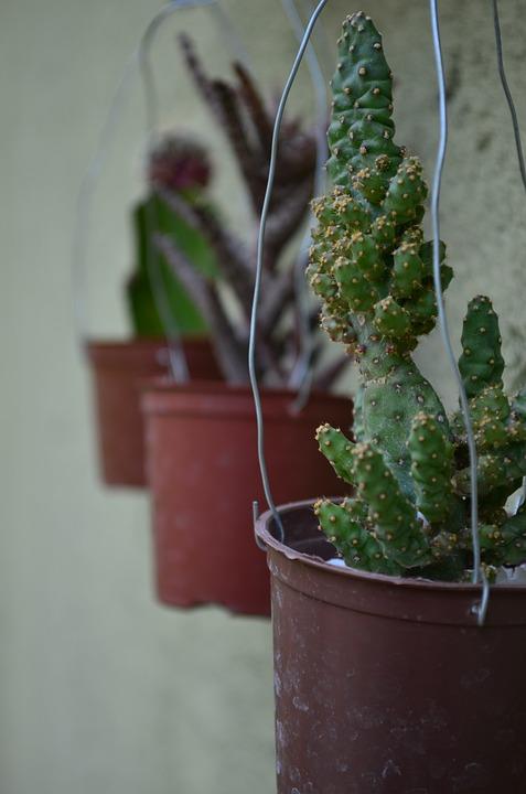 Cacti, Green, Garden, Plant