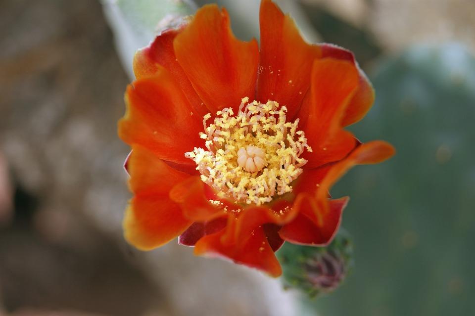 Cactus Blossom, Cactus, Bloom, Red, Plant, Garden