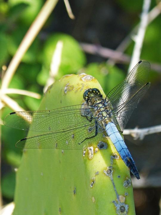 Dragonfly, Cactus, Wetland, Blue Dragonfly