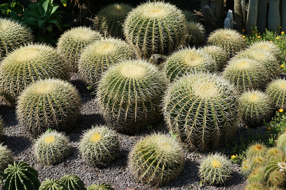 Cactus, Green, Plant, Botanical Garden, überlingen
