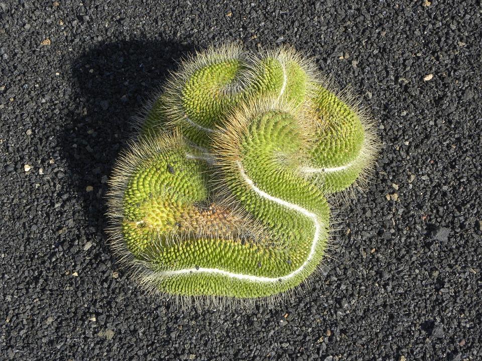Cactus, Flora, Garden, Botany