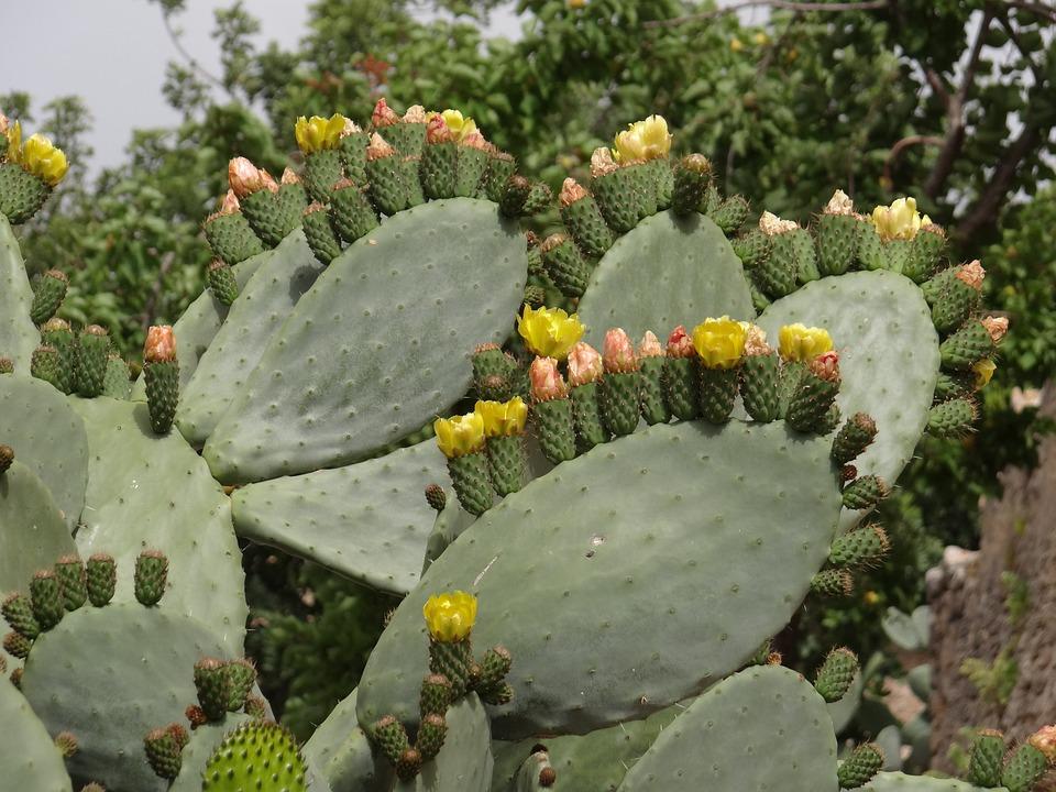 Cactus Flowers, Prickly Pear, Cactus, Flowers