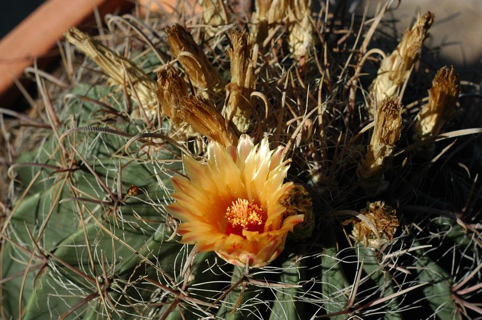 Cactus, Cactus Flower, Flower, Al Muhraga, Plants