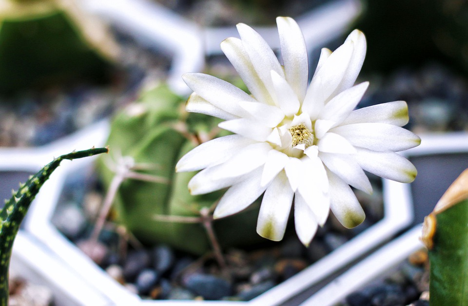 Cactus Flower, Cactus, Flowers, Bloom, Flora, Prickly