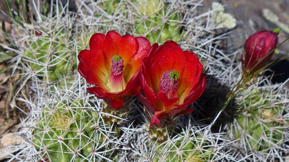 Cactus, Bloom, Colorado, Flowers, Summer