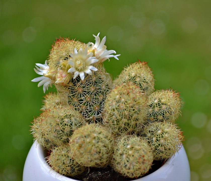 Cactus, Flowers, Cactus Flowers, Green, Nature, Spring