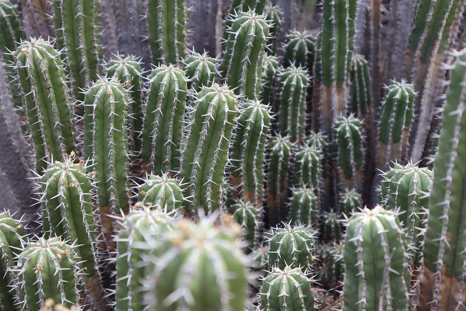 Cactus, Green, Skewer, Botany, Plant, Arid, Nature