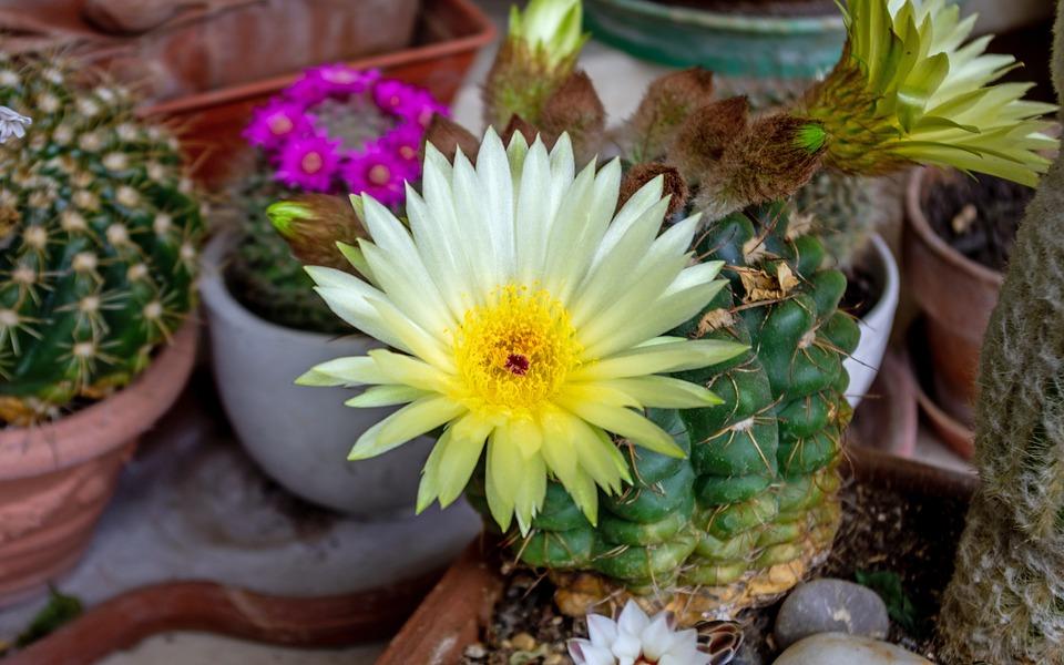 Succulent Plant, Mammillaria Marksiana, Cactus