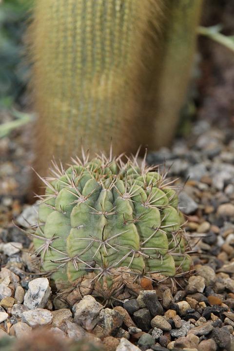 Cactus, Thorn, Scratchy, Nature, Sharp, Flora, Macro