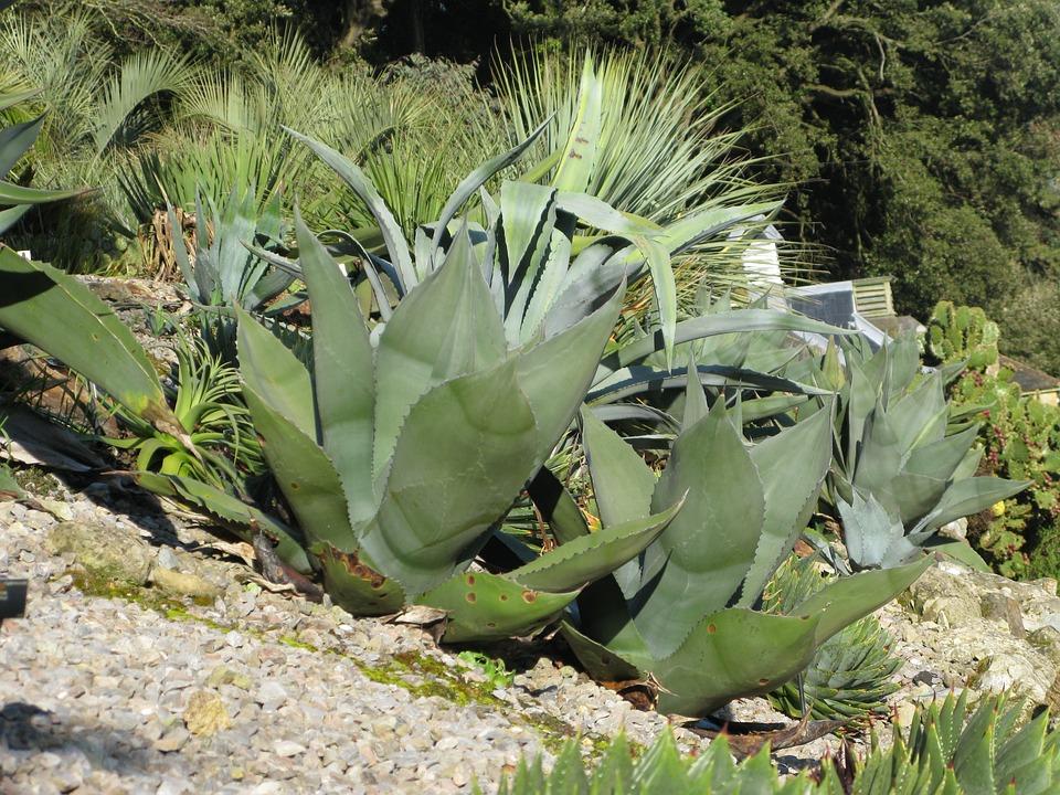 Agave, Plant, Cactus