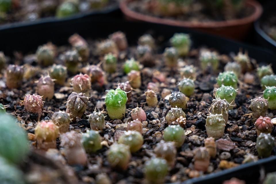 Cacti, Cactus, Astrophytum, Seeds, Plants, Green