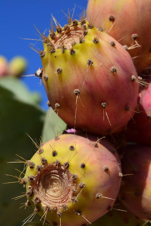 Prickly Pear, Fruit, Cactus, Cactus Fruit