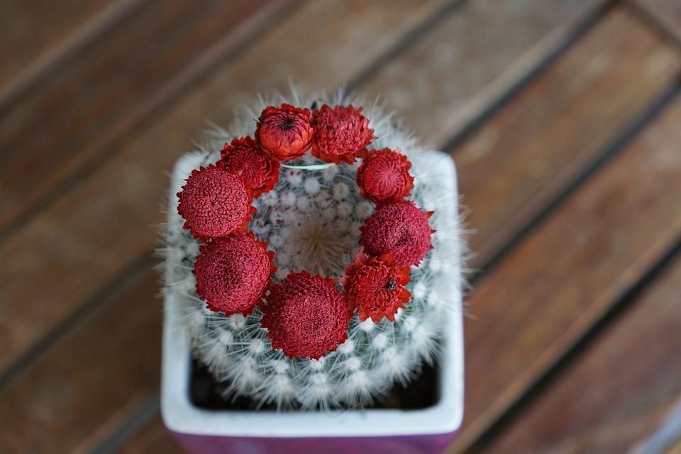 Cactus, Succulent, Plant, Red, Flourished