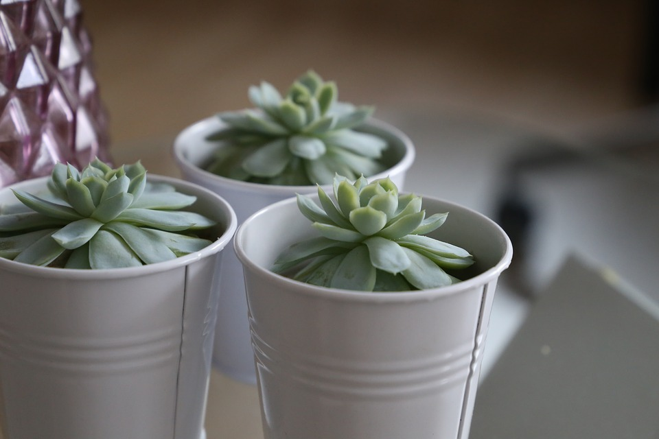 Succulents, Green, Succulent, Cactus, Nature