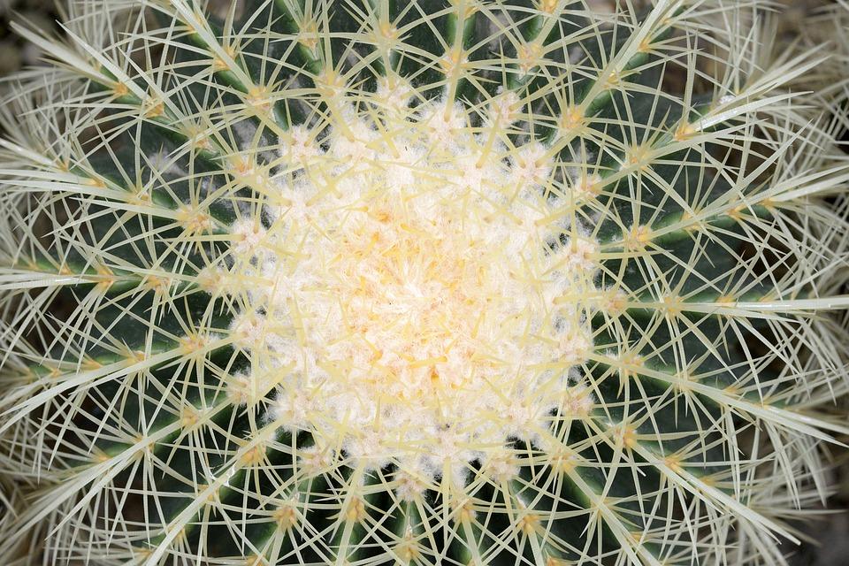 Cactus, Plants, Thorn, Nature