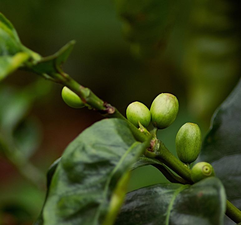 Coffee Bean, Coffee, Plant, Brown, Bean, Caffeine, Cafe