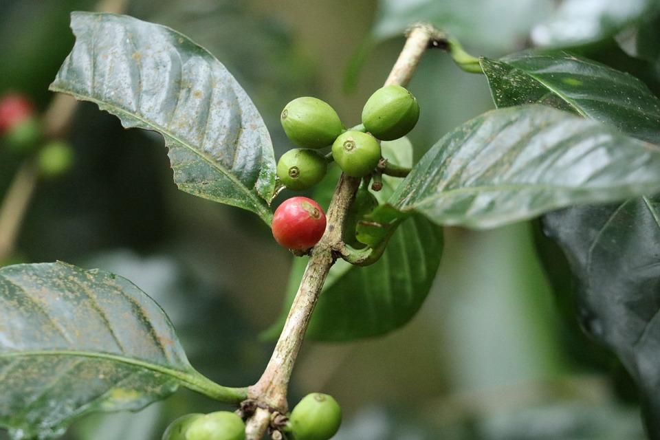 Coffee Beans, Coffee, Coorg Coffee, Roasted, Caffeine