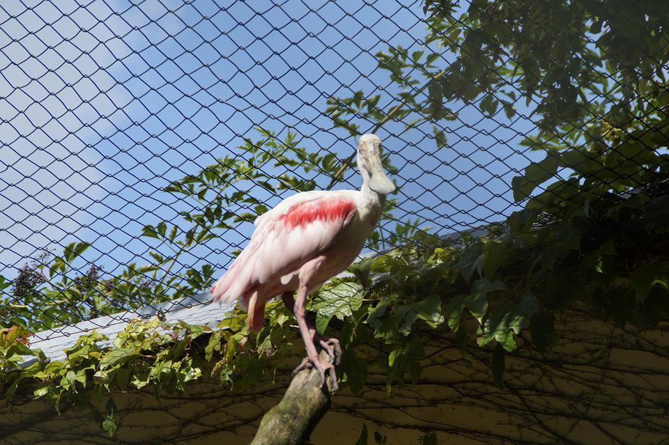 Löffler, Bird, Bird Aviary, Zoo, Aviary, Cage, Branch