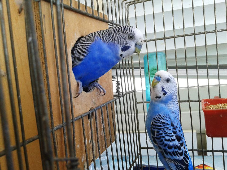free photo cage birds bird couple parrots parrot in cage max pixel