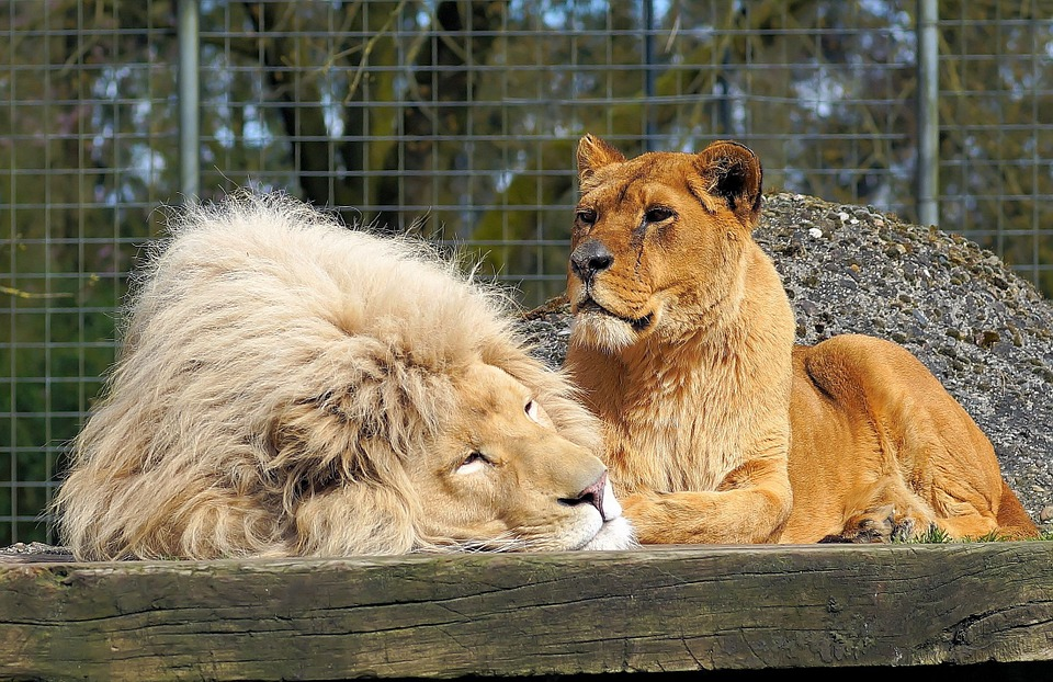 Lion, Lioness, Big Cats, Animal World, Zoo, Cage