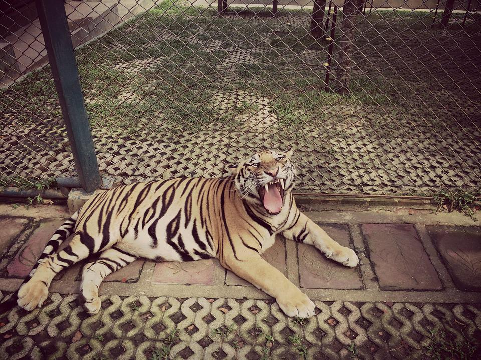 Tiger, Roar, Animal, Zoo, Cage