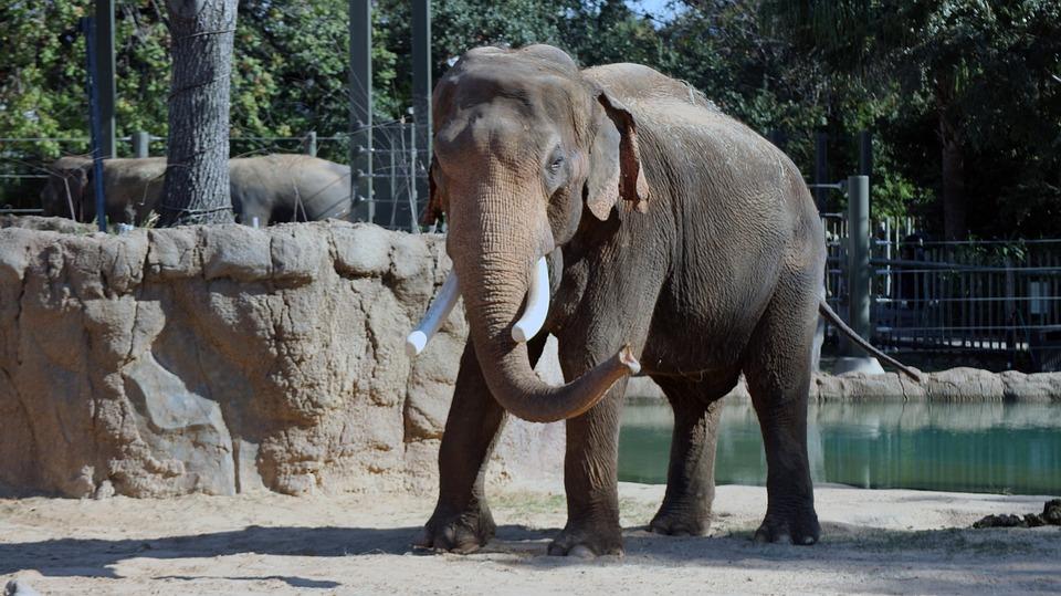 Elephant, Zoo, Caged, Cage, Animal, Mammal, Nature