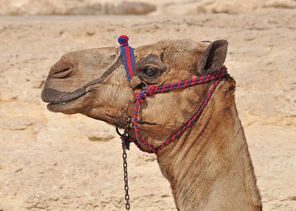 Camel, Egypt, Desert, Cairo, Africa