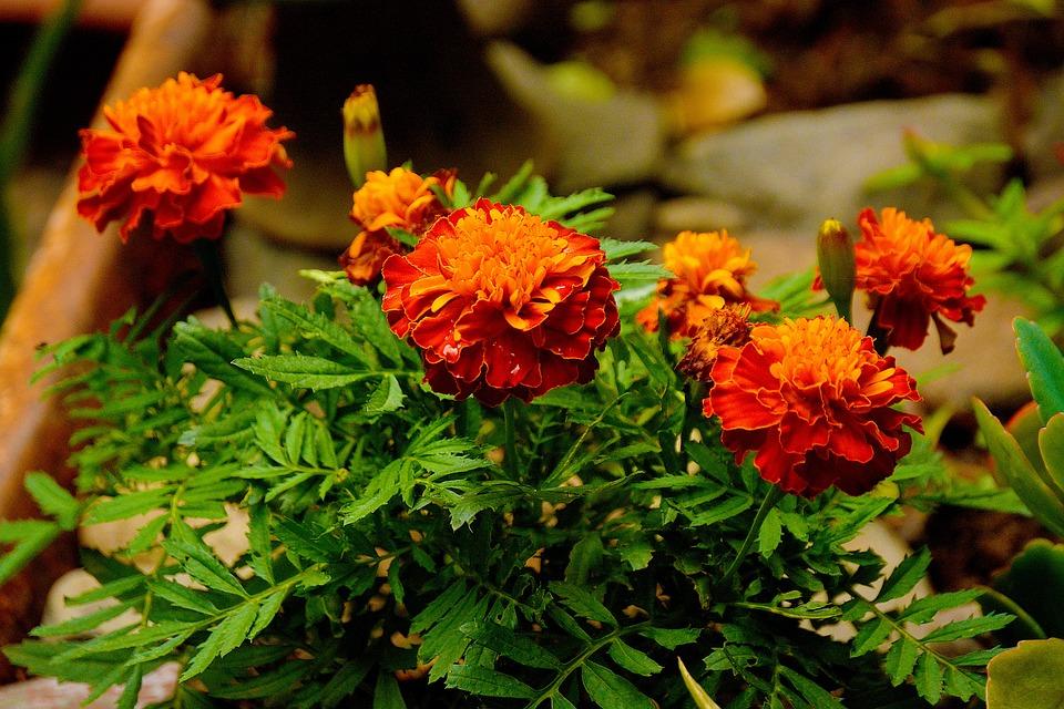 Calendula, Flower, Gardening, Plant, Yellow, Garden