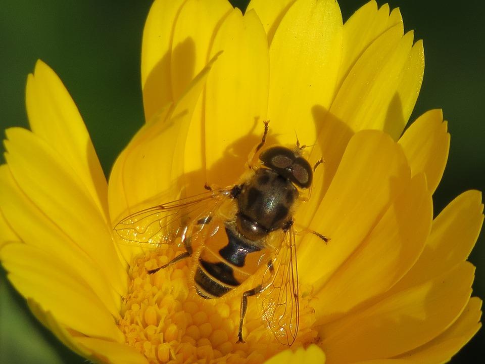 Cheloveka Common, Insect, Eristalis Tenax, Calendula