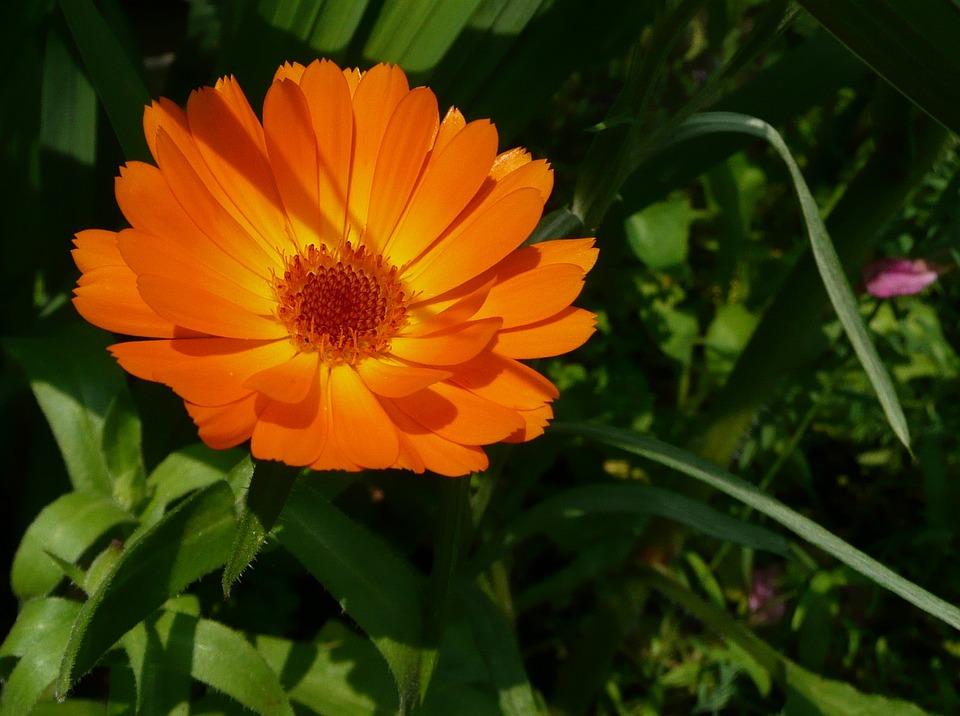 Calendula Officinalis, Marigold, Flowers, Orange Flower