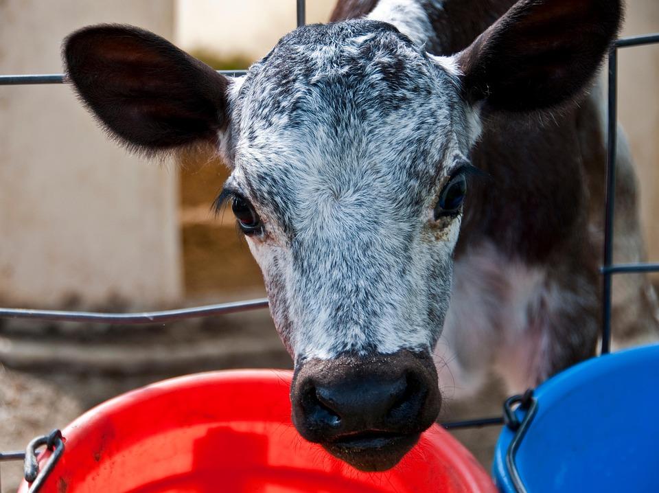 Free photo Calf Baby Eat Dairy Pen Farm - Max Pixel