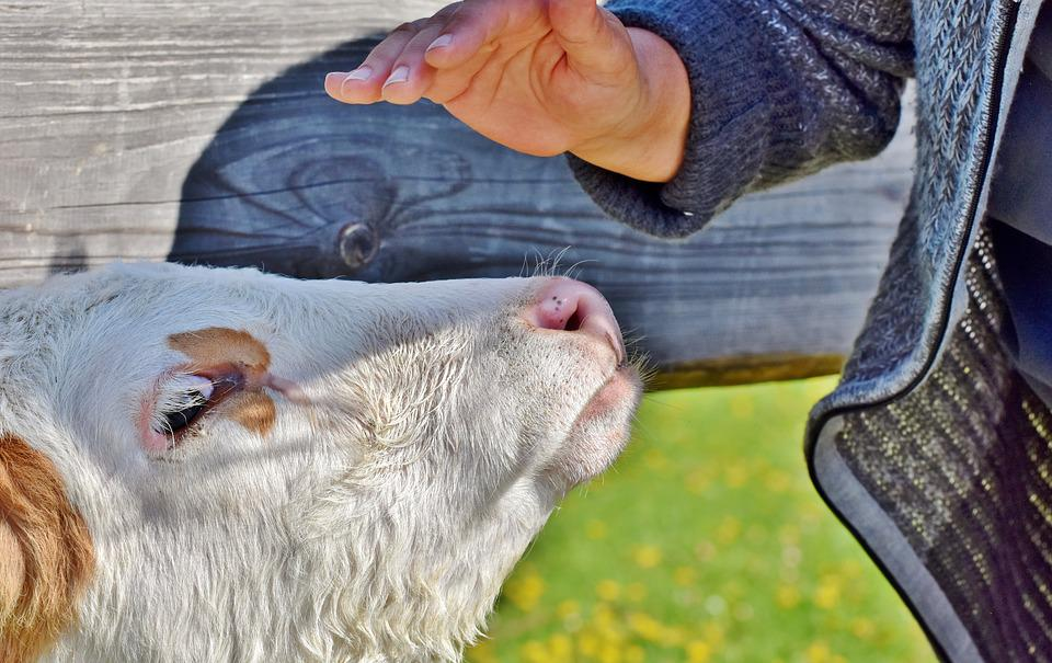 Calf, Beef, Cow, Cute, Agriculture, Ruminant