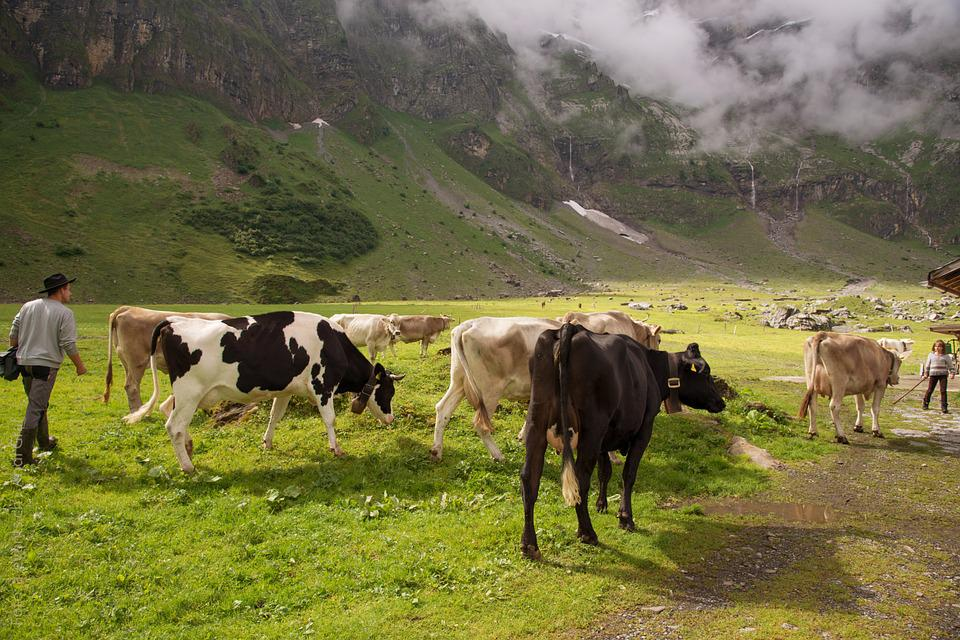 Alpine Pasture, Calf, Switzerland, Canton Of Glarus