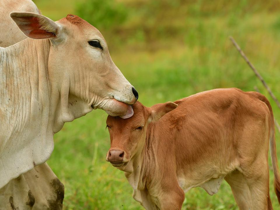 Love, Calf, Livestock, Ruminant, Cattle, Cows, Meadow